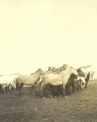 Лошади и верблюды. Меновой двор